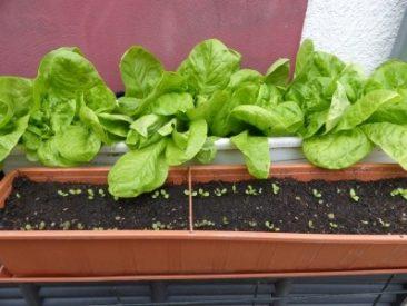 Salat aus dem Balkonkasten? Das geht...