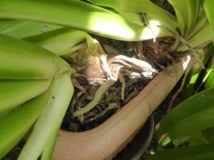 Schmucklilien gehören zu den schönsten Topfpflanzen für Balkon und Terrasse. Tipps & Tricks zu Pflege, überwintern, umtopfen, vermehren, teilen und mehr.