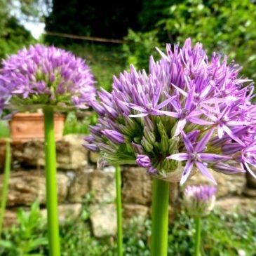 Blumenzwiebeln im Garten und Topf richtig pflanzen