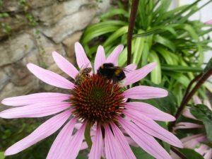Erdhummel und Biene an Sedum oder Fetthenne