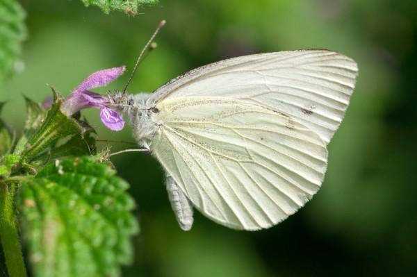 Kohlweißling Raupe bekämpfen durch Mischkultur und natürliche Abwehrmittel