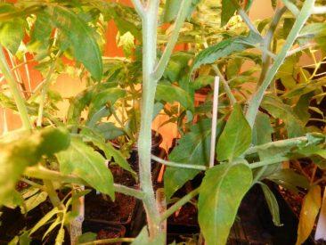 Bei paprika, Chili wie auch Tomaten.