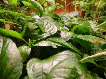 Und ein Sprung in Woche 10 nach der Aussaat. Hier: Saftig-grüne paprika.