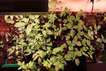 So sehen Tomaten und Paprika 10 Wochen nach der Aussaat aus. Bei uns in der dunklen, aber warmen Waschküche - und mit Pflanzenlampen, hier von SANlight (LED-Modul S2W https://amzn.to/2QcI2wh)
