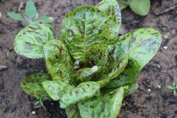 ... es gibt so zahlreiche Salatsorten und praktisch auch für jede Jahreszeit. So wie dieser hübsche und leckere Forellenschluss. Eine alte Sorte aus Österreich und ein sog. Römersalat. Er bildet einen Kopf, trotzdem ernte ich ihn blattweise. Gerade bei wenig Raum viel ertragreicher.