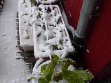 Hier: Im Vordergrund nochmals der sehr gute Pflücksalat, Amerikanischer Brauner, unter Schnee: Winterkopfsalat und Asiasalat. Topfgärtner rücken die Töpfe allenfalls an die Hauswand, wird es ganz ungemütlich, dann vielleicht ein Vlies darüber geben. Bis - 8 Grad habe ich das noch nie gemacht.