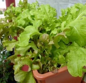 Salat pflanzen auf dem Balkon