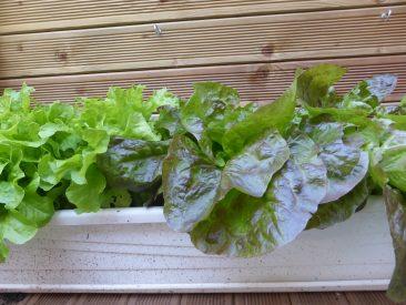 Natürlich wachsen nahezu alle Salatsorten auch im Balkonkasten.