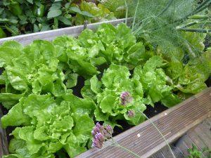 Endivien Salat säen und pflanzen