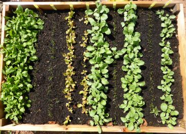 beet oder balkon salat s en pflegen und fast das ganze jahr ernten. Black Bedroom Furniture Sets. Home Design Ideas