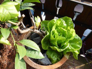 Salat wächst wirklich überall. Über dem Zitronenbäumchen hatte ich einen Salat Samen bilden lassen (geht auch prima auf dem Balkon!) Das ist das Ergebnis einen flüchtigen Samens. VOn denen es übrigens Massen von nur 1 Pflanze gibt.
