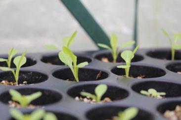 Der hier darf aber noch etwas. Wer Salat vorzieht sollte ihm gerne 4 - 6 Blätter gönnen, dann darf er an den späteren Pflnazort.