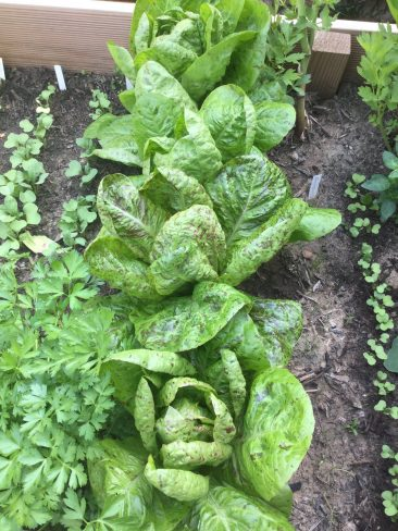 Salat säen und ernten fast das ganze Jahr? Ja, das ghet. :-)