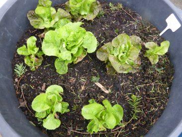 Hier ist der Winterkopfsalat etwas weiter und sitzt in den Tomatenkübeln. Cool: Vorgesät im September, irgendwann die Tomaten abgeräumt, Salatsetzlinge rein und bis Mitte Mai abgeerntet. Schwupps, ist wieder Platz für Tomaten da. Der 12-Monats-Kübel also. :-)