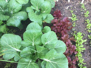 Pack Choi und Salat. Wenn der Salat richtig groß ist, dann ist der Pak Choi abgeerntet. Danach kommen links vom Salat beispielsweise Radieschen. Da wir die gerne essen, wurde das schnellwüchsige Grün immer und überall auf Lücken gesät.