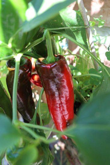 Auch Paprika (und Chili) sind echt einfach. Zwar muss man etwas Geduld mitbringen, da von der Blüte bis zur Reifung etwa 80 Tage vergehen - das Ergebnis allerdings belohnt den Gemüsegärtner. Wichtig: ein 10 L fassender Topf, etwa 1/4 Kompost und etwas Urgesteinsmehl zur Erde geben. Und: Ab und an flüssigen Tomatendünger oder Beinwelljauche geben. Je nach Sorte trägt dann so eine Pflanze 12 Früchte in der Saison.