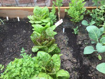 """In der Mitte Salat, rechts und links frisch gesäte Radieschen-Reihen; vorne Peterilie. Ist der erste Salatkopf weg, dann bekam die Petersilie mehr Platz """"zugewiesen""""."""