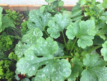 Jugendstadium; die Zucchini Gold Rush trägt Mitte Oktober wieder Früchte. Auch, weil sich Hochbeeterde viel besser aufwärmt, denn die im Beet.