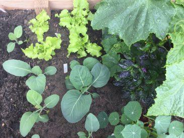 Interessant: Kailan Kichi, auch chin. Brokoli genannt. Umringt von Salat, Chili, Kapuzinerkresse und Gurke.
