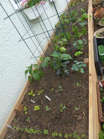 Vorgezogener Salat, und u.a. Gurken an den Rankgittern. Links davor die Chili war dann doch zu viel. :-)