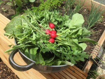 Radieschen, Rucola, Asiasalat und darunter etwas Pflücksalat ergibt, frisch geerntet, eine herrliche Schüssel Salat. Bei uns, selbst im kleinen Garten, aus lediglich 10 m2 Hochbeeten so viel, dass sich die Nachbarn ebenfalls freuen.