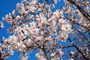 Frühlingsblüher, Sommerblüher oder Zergsträucher wie Lavendel: Sträucher richtig schneiden
