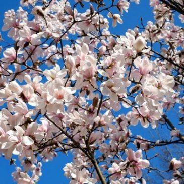 Sträucher schneiden: Für eine reiche Blütenpracht