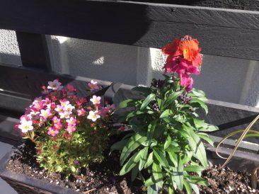 Paletten im Garten: Bau Anleitung für einen vertikalen Garten und Bild Goldlack , bienenfreundliche Pflanze