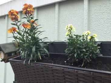 Paletten im Garten: Bau Anleitung für einen vertikalen Garten und Bild bunter Goldlack, bienenfreundliche Pflanze