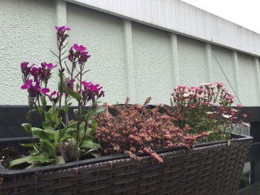 Paletten im Garten: Bau Anleitung für einen vertikalen Garten und Bild Gänsekresse , bienenfreundliche Pflanze