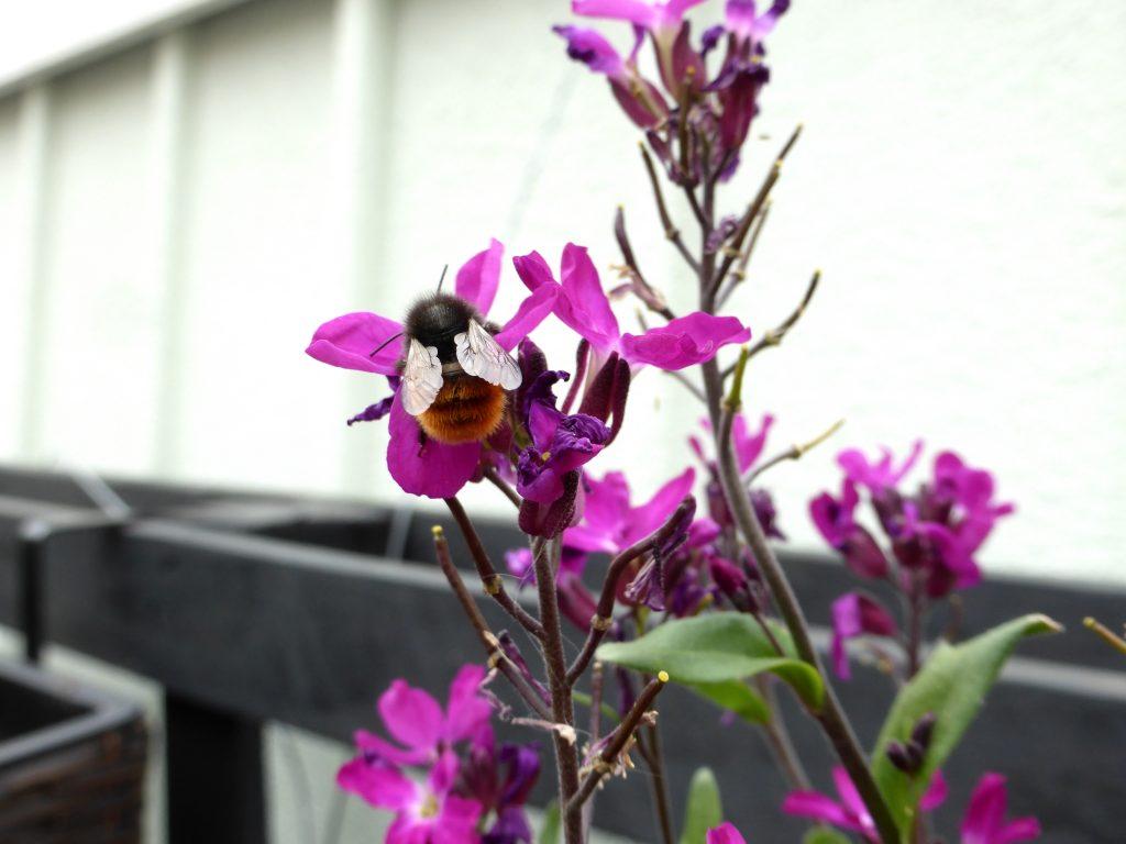 Paletten im Garten: Bau Anleitung für einen vertikalen Garten und Bild Gänsekresse , bienenfreundliche Pflanze, mit Gehörnter Mauerbiene