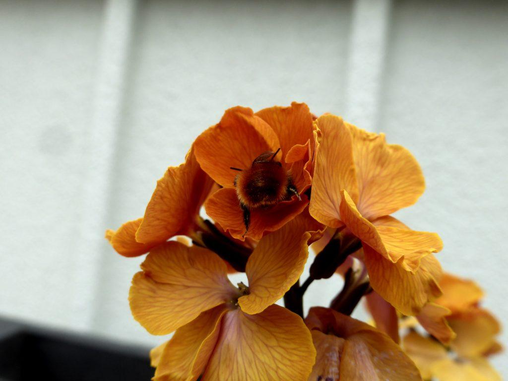 Gehörnte Mauerbiene an Goldlack -Ton in Ton.