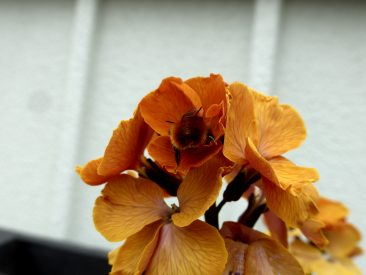 Im vorherigen Bild wie hier: Eine Gehörnte Mauerbiene. Eine der ersten Bienenarten im Frühjahr.