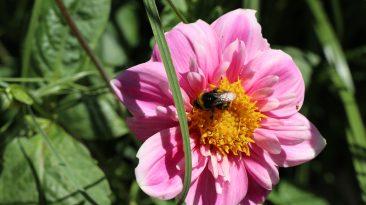 Dahlien sind beliebte Spätsommerblüher, deren Rhizome frostfrei überwindern müssen. Gerade so offenblühende Varianten wie die Halskrausendahlie sind bei Wildbienen begehrt.