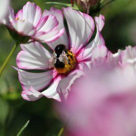 Wo es summt und brummt: Unser kleiner, bienenfreundlicher Garten