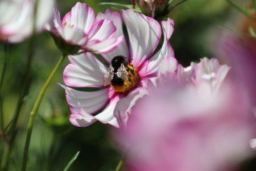 ... die durch ihre farbliche Vielfalt begeisertn. Werden die trockenheitsverträglichen Pflanzen regelmäßig von Verblühtem befreit, dann blühen sie bis zum Frost.