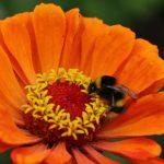 Zinnien sind gute Nektarspender für Bienen und Schmetterlinge