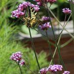 Das Hohe oder Patagonische Eisenkraut. Schmetterlinge wie der Schwalbenschwanz und Bienen schätzen die bedingt winterharte Staude.