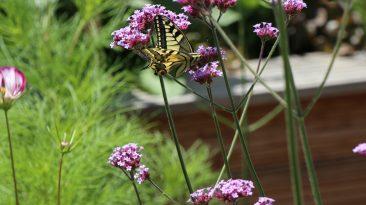 Einer meiner aussaatfreudigen Favoriten: Das Hohe oder Patagonische Eisenkraut. Schmetterlinge wie der Schwalbenschwanz und Bienen schätzen die bedingt winterharte Staude.