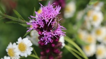 Im Frühjahr kann man die Rhizome der Prachtscharte kaufen. Ich habe sie draußen in Töpfen vorgezogen. Wenn es ihr gefällt, dann werden die Blütenkerzen über einen Meter hoch. Sie ist winterhart und vermehrt sich vergleichsweise schnell. So waren letztes Jahr bei der Pflanzung 1 - 2 Blütenkerzen an jeder Pflanze. Dieses jahr waren es bis zu 6 oder 7. Interessant: Die Blütenkerzen blühen von oben nach unten auf. Sehr gute Insektenweide über etwa 6 - 8 Wochen.