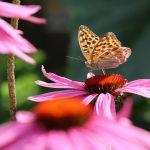 Ein Kaisermantel an einer Echinacea, ein guter Pollenspender und Nektarspender im Garten für Insekten