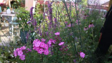 Phlox gehört für mich in einen schönen, artenreichen Garten, nicht nur mit ländlichem Charme. Bienen lockt er nicht an, dafür das Taubenschwänzchen oder Nachtfalter.