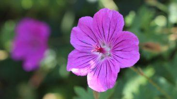 In englischen Gärten ein Klassiker, bei uns mehr und mehr beliebt. Storchschnabel. Diese Sorte mit schöner Blütenfarbe ist ein bis zum Frost blühender Bodendecker. Die nektarreichen Pflanzen gibt es in zahlreichen Farb- und Formvarianten und mit bis zu 1 m Höhe. Es gibt Arten für praktisch jeden Standort.