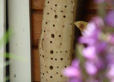 Neben einer Wasserstelle - es genügt bereits ein größerer Untersetzer mit ein paar Steinen darin - ist ein Insektenhotel ein wichtiges Zusatzangebot im bienenfreundlichen Garten. Die meisten Wildbienenarten brüten zwar in der Erde, doch so ein Angebot sollte nicht fehlen. Das hier ist ein einfacher Baumstamm, der richtig gebohrt ist. Was in Sachen Insektenhotel zu beachten ist und Nachbauanleitung: Hier entlang http://www.muhvie.de/der-artenvielfalt-zuliebe-ein-wildbienen-insektenhotel-richtig-bauen/
