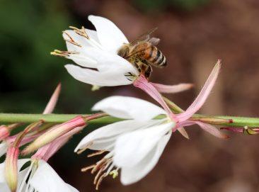 Ziehe ich seit Jahren aus Samen: Die über und über mit Blüten bedeckte Staude, die Pracht- oder Präriekerze gibt es in rosa oder weiß. Kleiner Wildbienenarten udn Honigbienen mögen den Nektar.