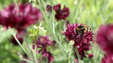 Kornblumen können nicht nur blau. Diese rot-violette Variante finde ich etwas eleganter. Die Erdhummel hat an ihr jedenfalls reichlich die Hosentaschen vollgepackt.