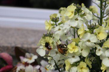 Goldlack - hier ausnahmsweise nicht selbst gezogen - ist ein früh blühender Bienenmagnet. Wer die zweijährige Pflanze sät: Am besten so etwa im Juni. Dann blüht er das folgende Jahr.