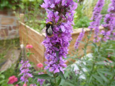 Blutweiderich darf wirklich in keinem naturnahen, bienenfreundlichen Garten fehlen.