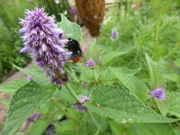Anis-Ysop, ein echter Bienenmagnet in seiner etwa 2-monatigen Blütezeit. Viele kommen zu Besuch, wie hier die Steinhummel oder