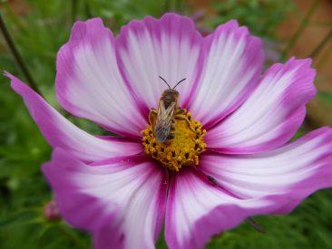 Gleich, welche Farbe - die Blüten sind begehrt.